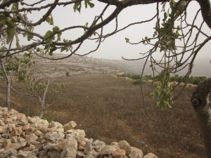 The hillside farm of the Nassar family is terraced and covered with olive trees.