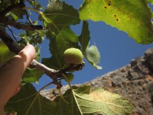 Figs grow near Caesarea Philipi.